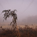 Dead bracken dripping in the mist - Autumn