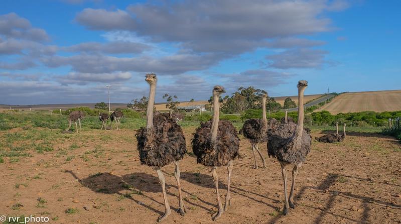 Granja Avestruces en la Ruta Jardín, Sudáfrica