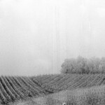 Frosted vineyards