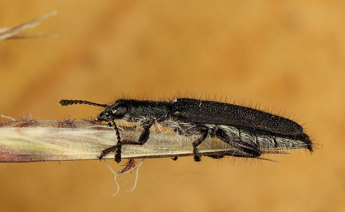 Clerid Beetle (Eleale genus) on Red-anther Wallaby Grass