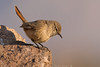 Canastero Chico - Cordilleran Canastero (Asthenes modesta australis)