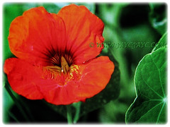 Orange-red blossom of Tropaeolum majus (Nasturtium, Garden Nasturtium, Indian Cress, Monks Cress), 23 Nov 2017