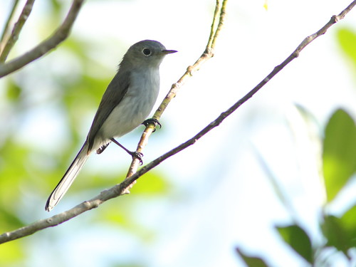 Blue-gray Gnatcatcher 01-20171128
