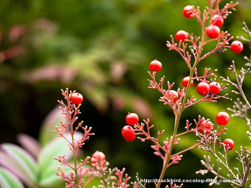 Autumn Red 20171130 #07
