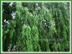 Salix babylonica's (Weeping Willow, Peking Willow, Chinese Weeping Willow, Babylon Weeping Willow, Babylon Willow) pendulous branches and long tresses of leaves, 16 Nov 2017