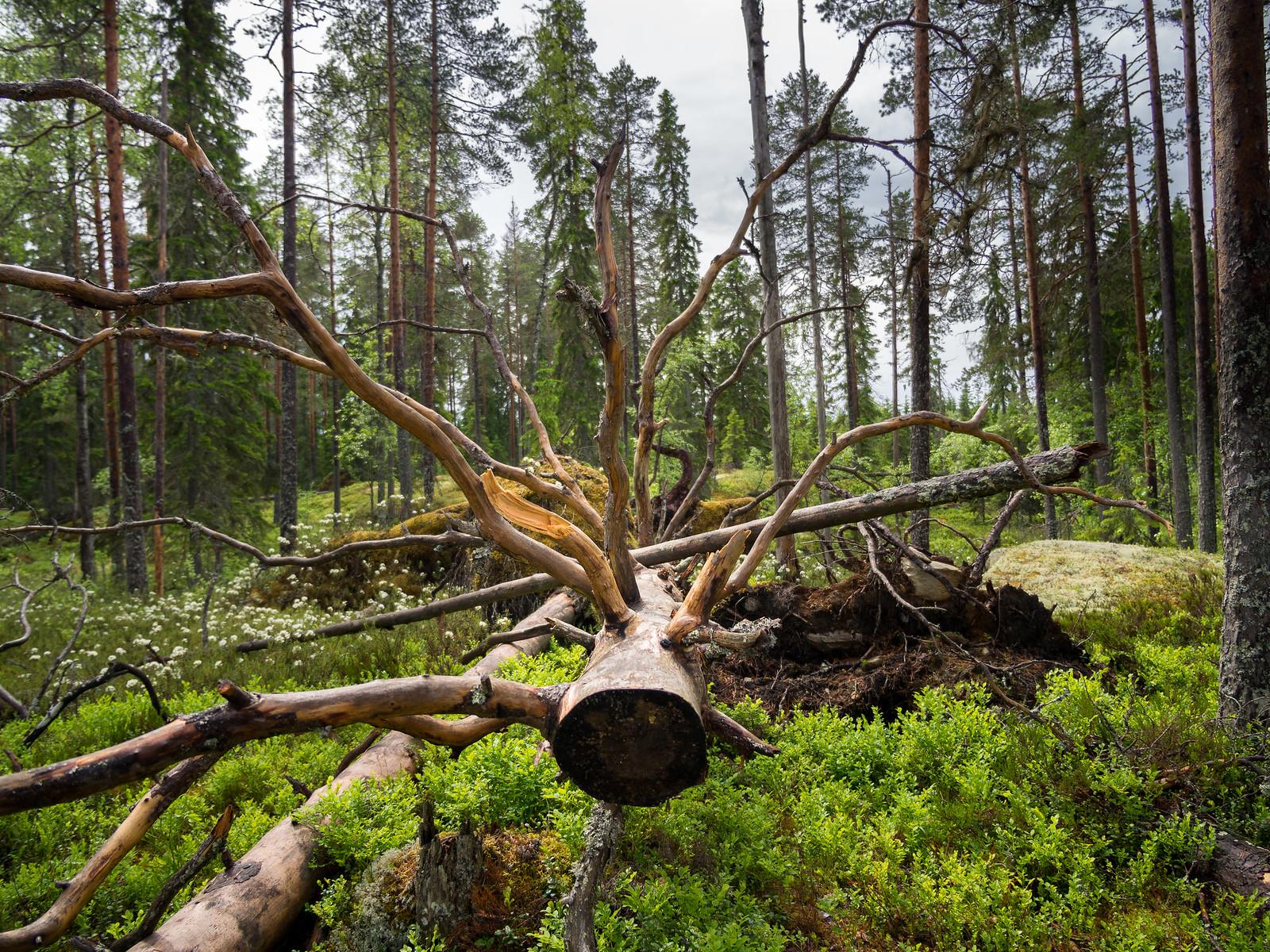 Vehreä metsä, Suomen ylpeys