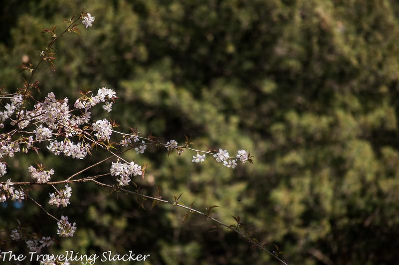 Shillong Cherry (20)