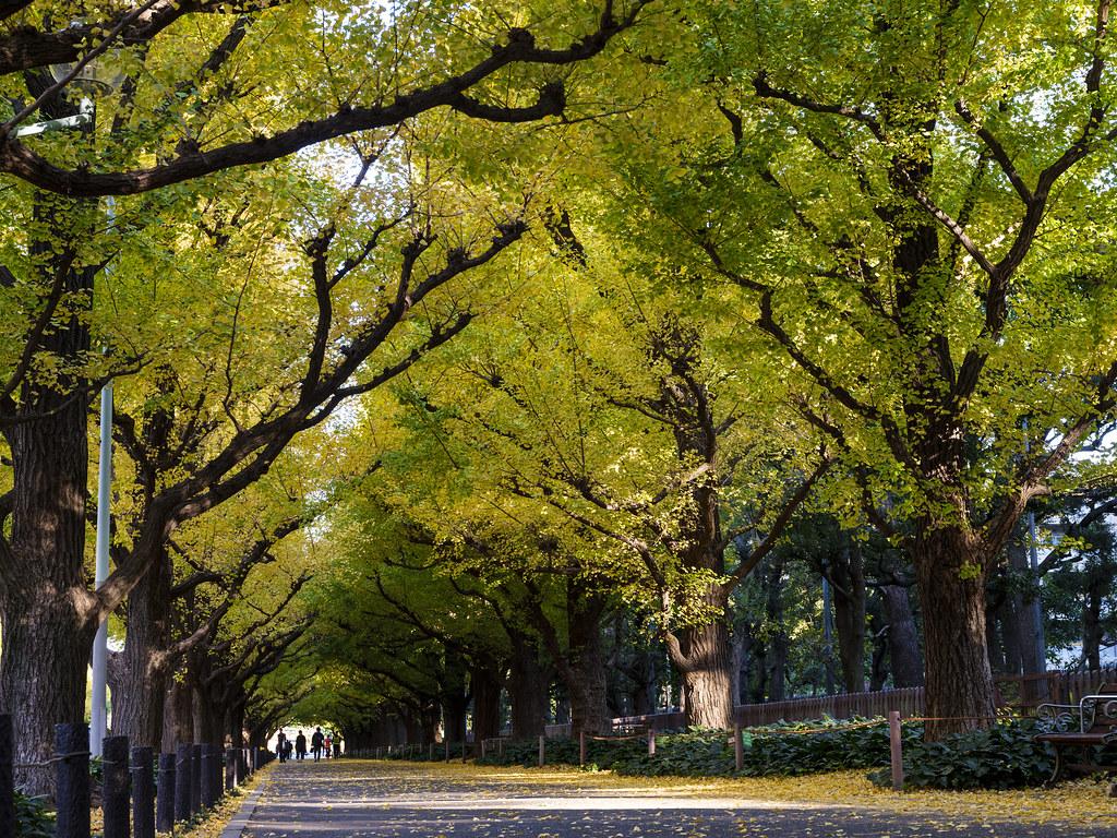 神宮外苑銀杏並木④