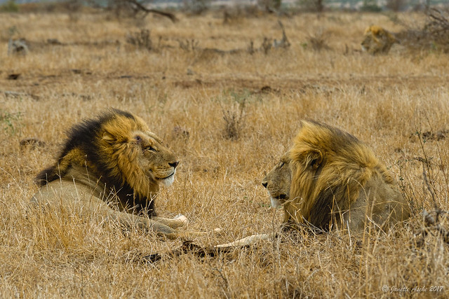 Lions in Kruger - two still close to the road