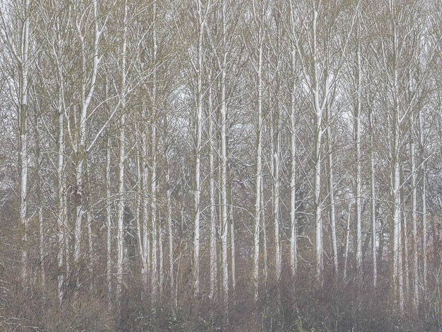 Tall trees with snow