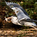 Heron with Prey.R183.52.