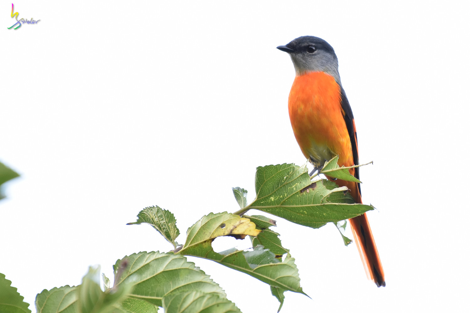 Grey-chinned_Minivet_9681