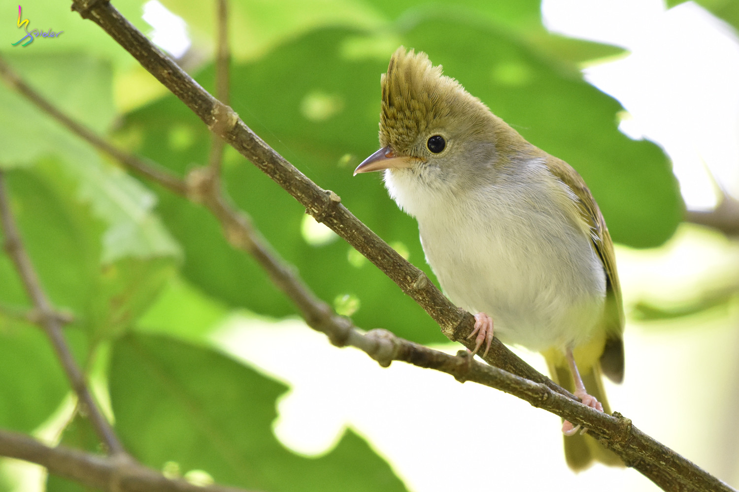 White-bellied_Yuhina_0314