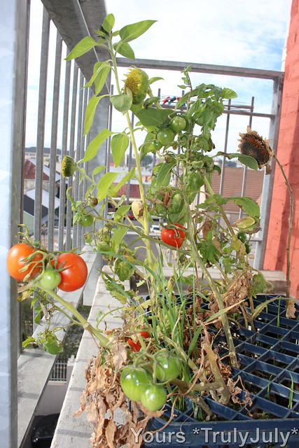 This tomato plant grew out of nowhere and is even bearing fruit!