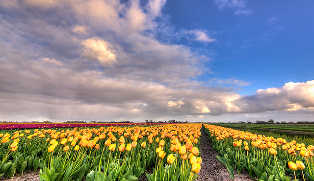 Parallel rows of tulips.