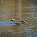 Hooded Mergansers (female and/or immature)