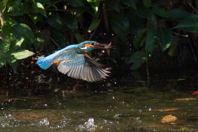 20171125-kingfisher-DSC_8758