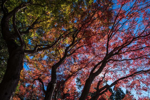 カエデの高木を見上げる@明王峠
