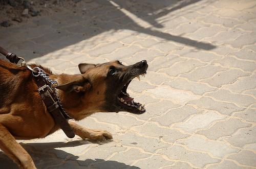 激しく吠える犬