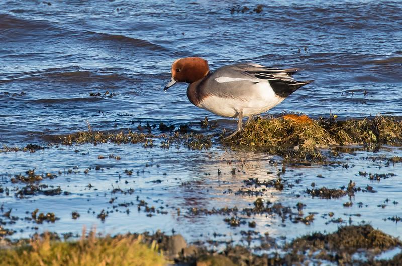 male wigeon 139a_96