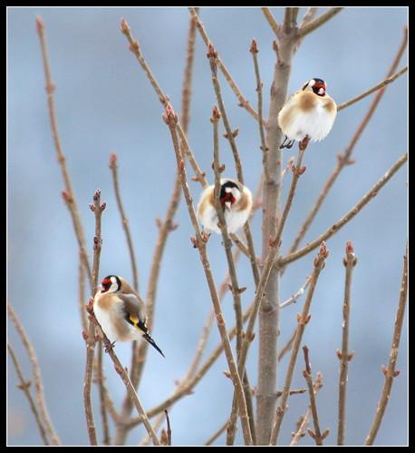 les visiteurs à plumes sauvages  2 - Page 13 37948582925_e19bdfe349