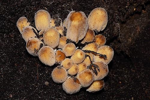 Mica caps - Glimmerinktzwammen