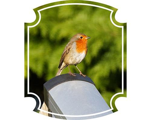 IMG_4914 Robin