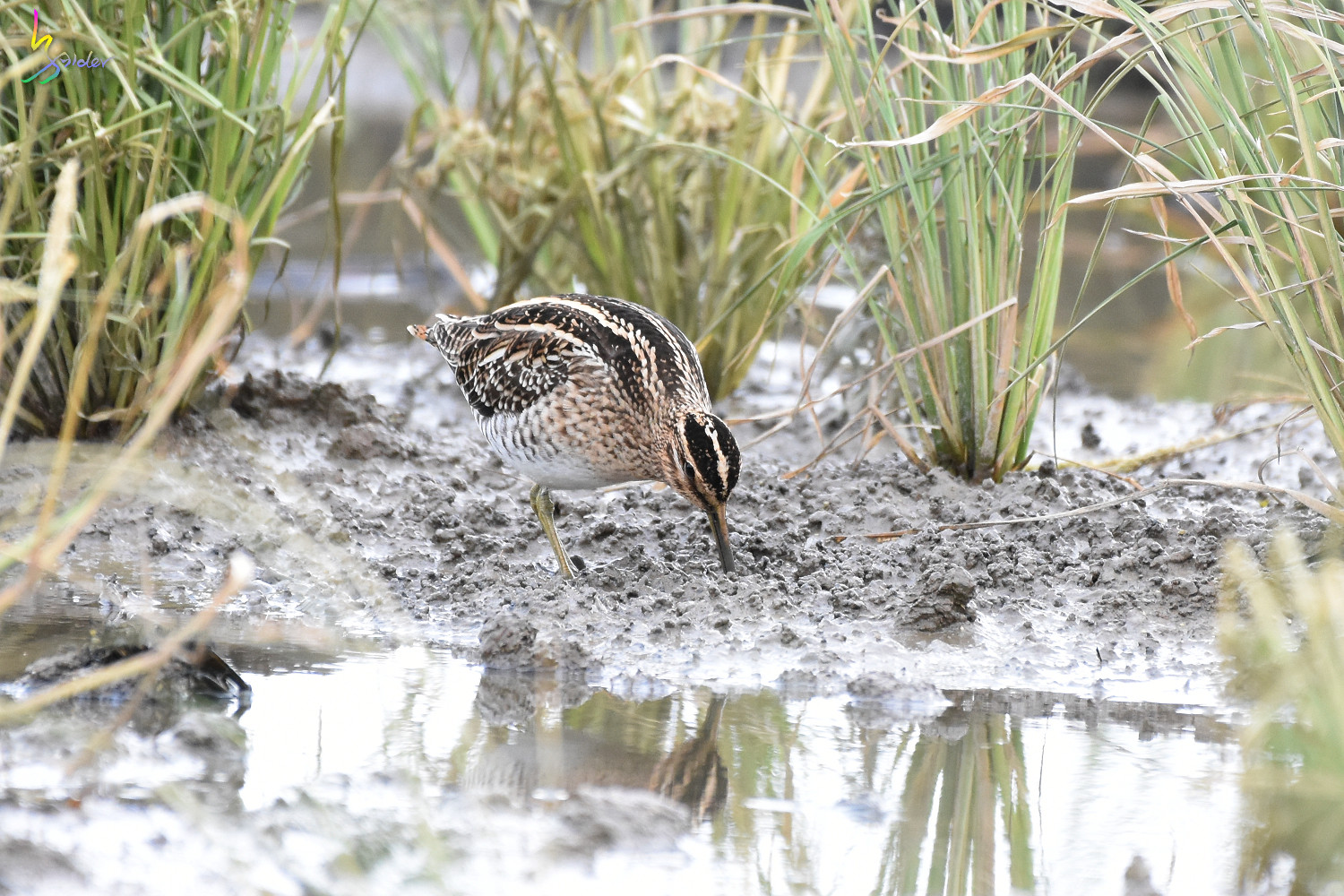 Common_Snipe_7233