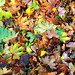 Autumn leaves in Canterbury, Kent