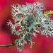 Lichen on an acer