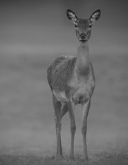 Simply a Deer