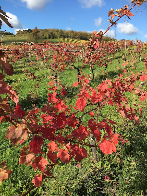 Autumn tints on Vines Denbies Wine Estate
