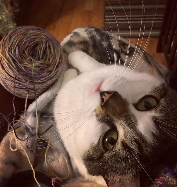 Lap cat wants me to stop knitting and get her supper already. 🍗
