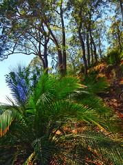 Australian Burrawang palm