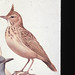 Small photo of Crested Lark