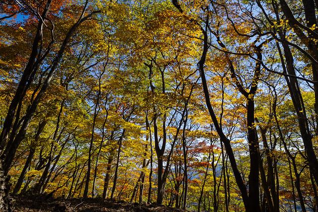 妻坂峠への稜線・・・カエデの紅葉が綺麗です