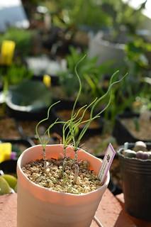 DSC_7081 Gethyllis verticillata ゲチリス ベルティシラータ