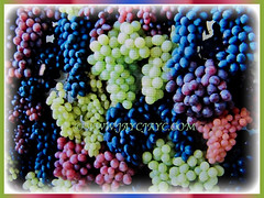 Colourful edible fruits of Vitis vinifera (Common Grape Vine, Wine Grape, Purpleleaf Grape, Anggur in Malay) in varying shades, 6 Dec 2017