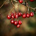 Nov Red Berries 9183