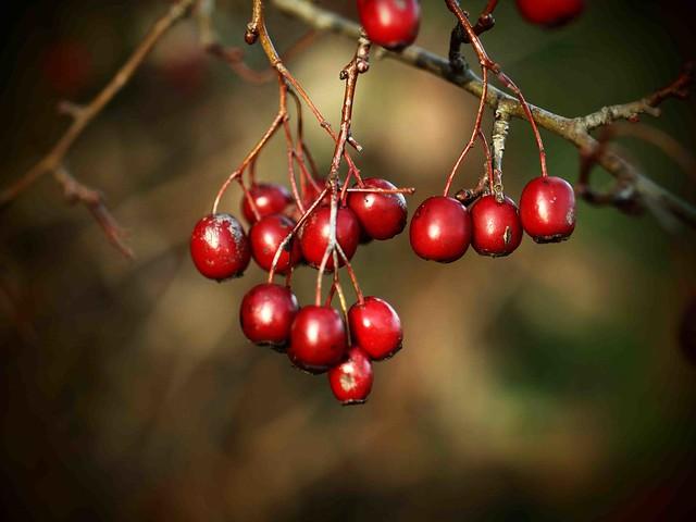 Nov Red Berries 9183