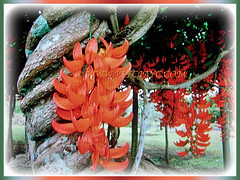 Mucuna bennettii (New Guinea Creeper, Scarlet Jade Vine, Red Jade Vine) is a woody and twining climber tat can grow up to 30,48 m in length. 29 Nov 2017