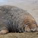 Atlantic Grey Seal DSC_1689 by wildlifelynn