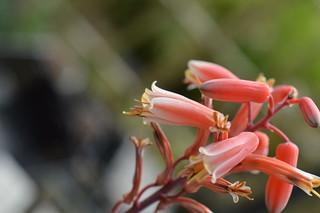DSC_7031 Aloe cv. DZ  (Debra Zimmerman)