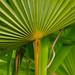 Greens: spreading palm leaf