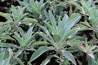 J20161110-0061—Salvia apiana—RPBG—DxO