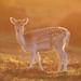 Fallow Deer Doe Dama dama 001-1