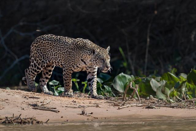 Jaguar hunting, Canon EOS-1D X MARK II, Canon EF 500mm f/4L IS II USM