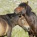Horse nuzzle Western Mongolia DSC_5624 by JKIESECKER