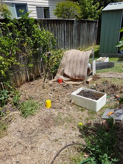 Chooks in garden.