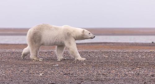 Polar Bear in the ANWR
